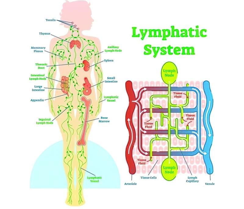 Лімфатична система людини: будова, функції, схема руху лімфи 1